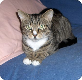 Domestic Shorthair Cat for adoption in Richmond, Virginia - Jax