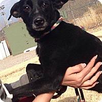 Adopt A Pet :: Nefarious - Alamogordo, NM