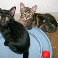 Domestic Shorthair Kitten for adoption in Scottsdale, Arizona - Midnight