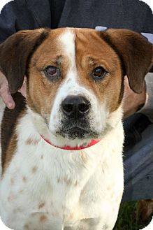 St. Bernard Mix Dog for adoption in Anderson, Indiana - Krueger