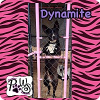 Adopt A Pet :: Dynamite - Fowler, CA