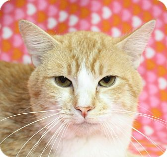 Domestic Shorthair Cat for adoption in Jackson, Michigan - VOLUNTEER FAVORITE Festus