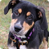 Adopt A Pet :: Ringo Star - Bedford, VA