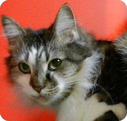 Maine Coon Cat for adoption in Carrollton, Georgia - SC-Fluffers (MCR)