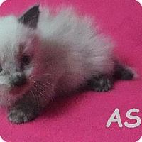 Adopt A Pet :: Ashes - Batesville, AR