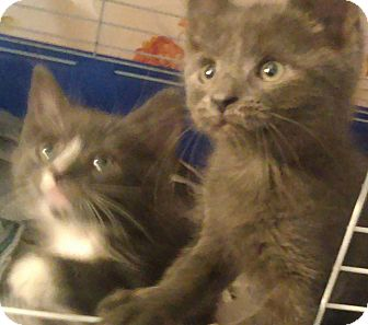 Domestic Shorthair Kitten for adoption in Bayside, New York - Brothers