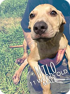 Black Mouth Cur Mix Puppy for adoption in Sarasota, Florida - Milo