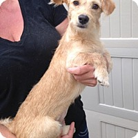 Dachshund/Terrier (Unknown Type, Small) Mix Dog for adoption in Temecula, California - Taffy