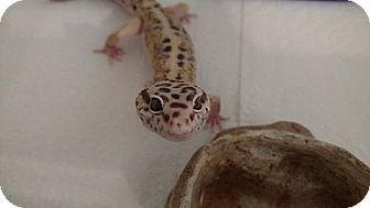 Gecko for adoption in Holbrook, Massachusetts - Olaf