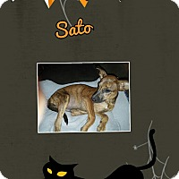 Adopt A Pet :: Sato - Springtown, TX