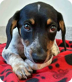 Hound (Unknown Type) Mix Puppy for adoption in Gahanna, Ohio - ADOPTED!!!   Coonley