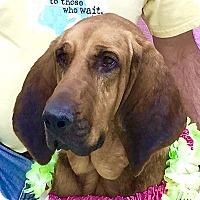 Adopt A Pet :: Dixie - Evansville, IN