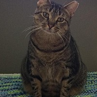 American Shorthair Cat for adoption in Stamford, Connecticut - Sadie