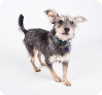 Yorkie, Yorkshire Terrier Mix Dog for adoption in Atlanta, Georgia - Nemo