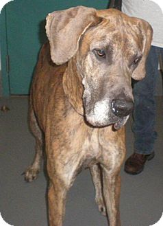Great Dane Dog for adoption in Oswego, Illinois - Brandy