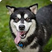 Adopt A Pet :: KODIAK - Seattle, WA