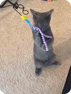 Domestic Shorthair Kitten for adoption in Gaithersburg, Maryland - Yoda