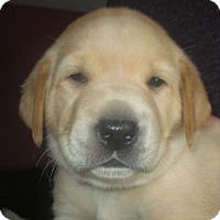 Adopt A Pet :: Junie: Maisy's Litter - Island Lake, IL