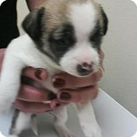 Adopt A Pet :: Bell - Denver, CO