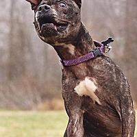 Adopt A Pet :: Shelly - Landenberg, PA
