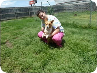 Pembroke Welsh Corgi Dog for adoption in Inola, Oklahoma - Sparrow