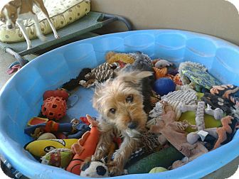 Yorkie, Yorkshire Terrier/Schnauzer (Miniature) Mix Dog for adoption in Scottsdale, Arizona - Henri