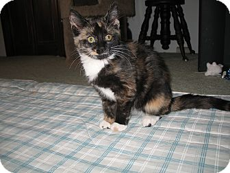 Calico Kitten for adoption in Bensalem, Pennsylvania - Gypsie