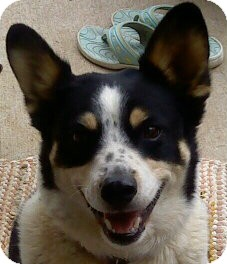 Rat Terrier/Australian Cattle Dog Mix Dog for adoption in Denver, Colorado - Yeti - good with all animals