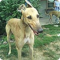 Adopt A Pet :: Gulliver (NB's Gulliver) - Florence, KY
