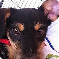 Adopt A Pet :: Sebastian - North Hollywood, CA