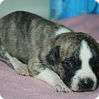 Adopt A Pet :: Baby Boy 5 - Westfield, IN