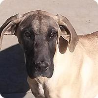 Adopt A Pet :: Little Miss Nova - San Fernando Valley, CA
