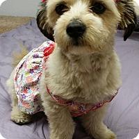 Adopt A Pet :: Darla-Super Friendly! Lhasa! - Kirkland, WA