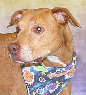 Labrador Retriever/Shepherd (Unknown Type) Mix Dog for adoption in Cincinnati, Ohio - Marley