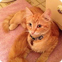 Adopt A Pet :: Orange Kitten Brothers - Monrovia, CA