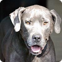 Adopt A Pet :: DAPHNE - EDEN PRAIRIE, MN