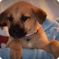 Adopt A Pet :: Malamute /lab pups - Albemarle, NC