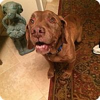 Labrador Retriever Dog for adoption in Falls Church, Virginia - Harpo