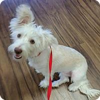 Adopt A Pet :: Nooni - Brea, CA