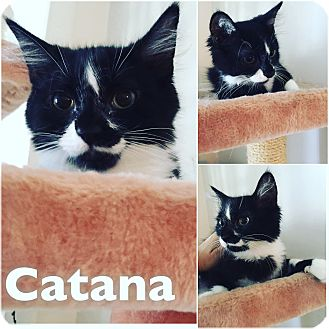 Domestic Mediumhair Cat for adoption in St Clair Shores, Michigan - Catana