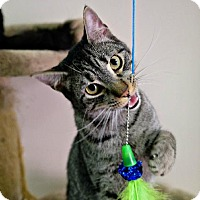 Domestic Mediumhair Cat for adoption in Houston, Texas - Ancho