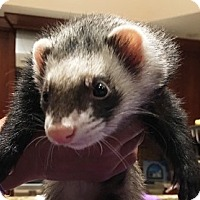 Adopt A Pet :: Oswald - Hartford, CT