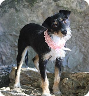 Terrier (Unknown Type, Small)/Schnauzer (Miniature) Mix Dog for adoption in Dalton, Georgia - Ellen
