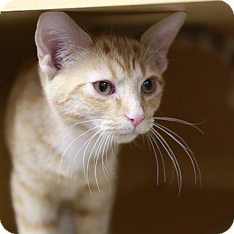 Domestic Shorthair Kitten for adoption in Kettering, Ohio - Bushfire