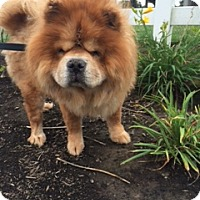 Chow Chow Dog for adoption in Vancouver, Washington - Mator