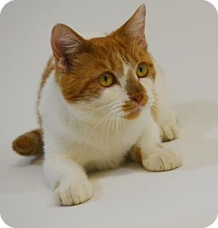Domestic Shorthair Cat for adoption in New Iberia, Louisiana - ESTELLE