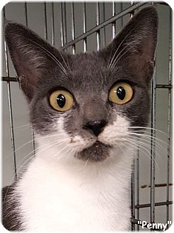 Domestic Shorthair Cat for adoption in Key Largo, Florida - Penny