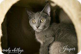 Russian Blue Kitten for adoption in Columbia, Tennessee - Jasper**Pending Adoption