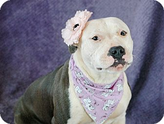 Staffordshire Bull Terrier Mix Dog for adoption in Allen town, Pennsylvania - Bella