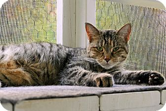 Domestic Shorthair Cat for adoption in Victor, New York - Maura